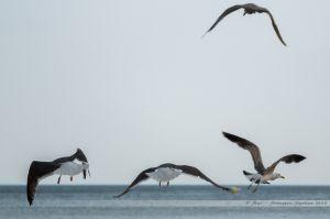 Vol de goélands sur la Grande Plage des Sables d'Olonne