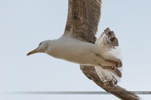 Goéland en vol au dessus de la Grande Plage des Sables d'Olonne