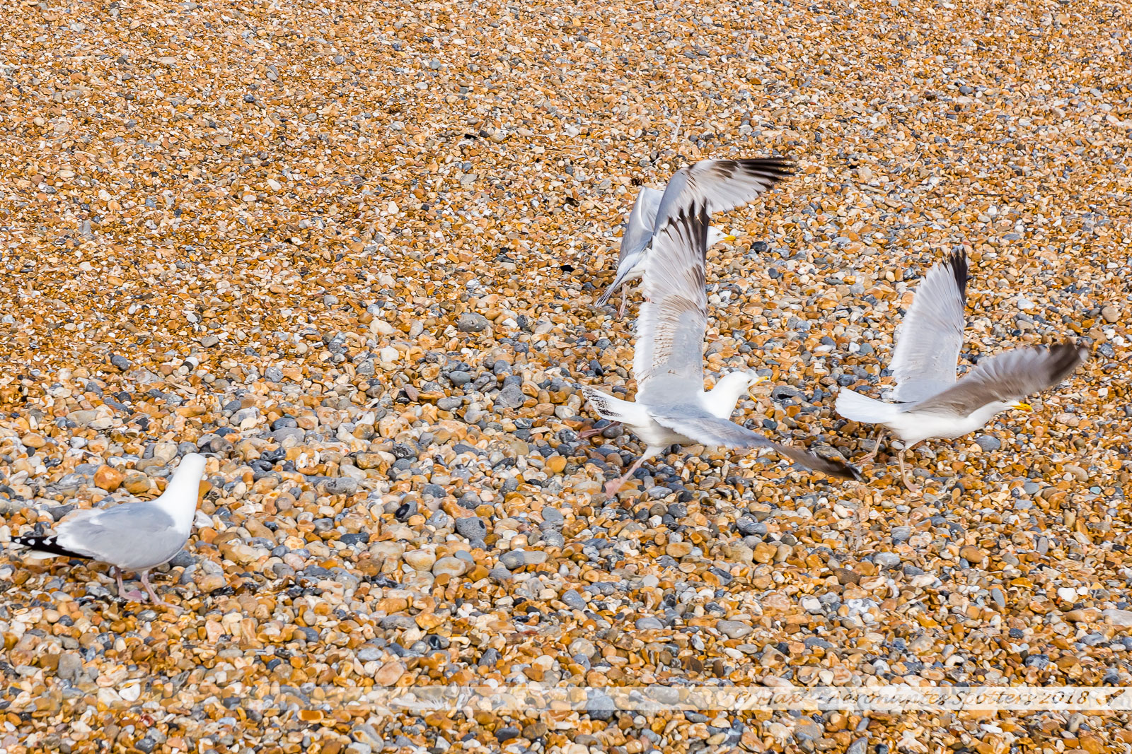 Goélands sur la plage de galets de Brighton