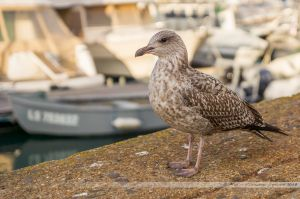 Mouette sur les quais du port de pêche des Sables d'Olonne
