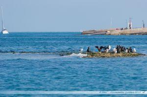Îlot accueillant des Goélands et des Cormorans dans le port de Poole
